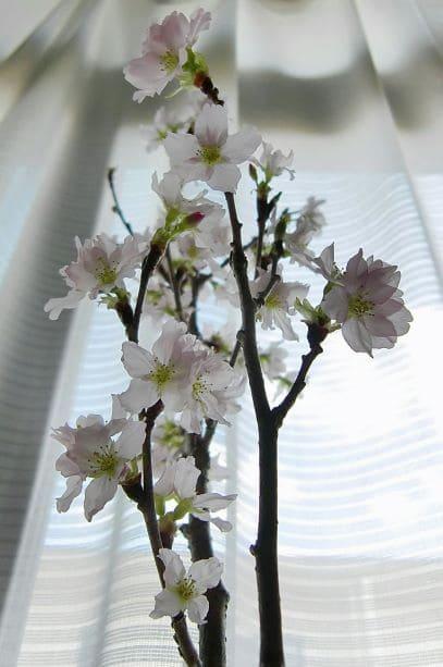 啓翁桜t3